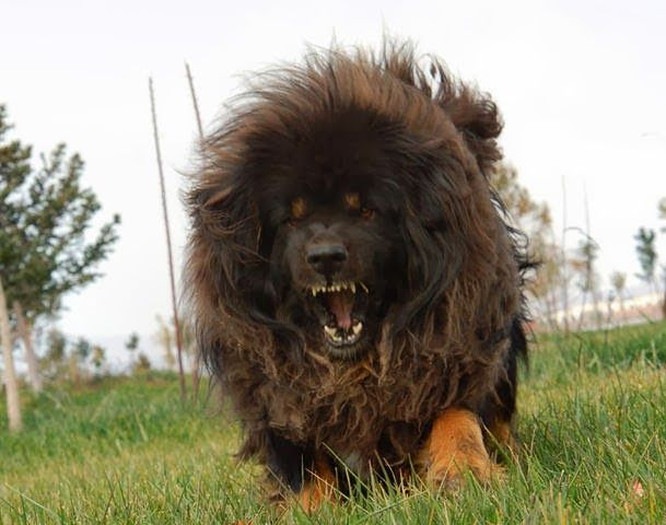 16 Interesting Facts About Tibetan Mastiffs for Tibetan Mastiff Lovers