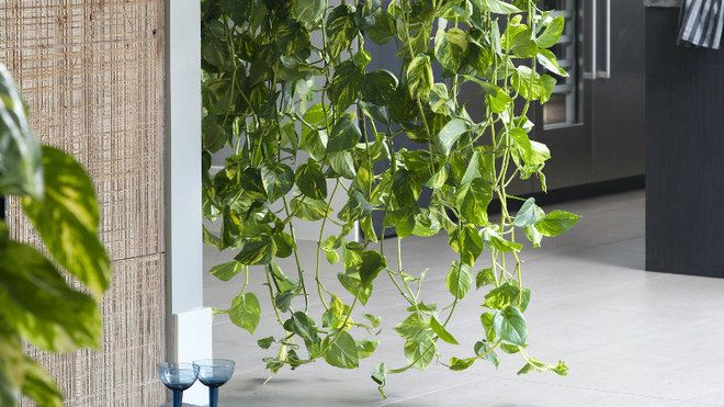 25 best ideas about plante grimpante on pinterest treillage jardin fleura - Plante tombante interieur ...