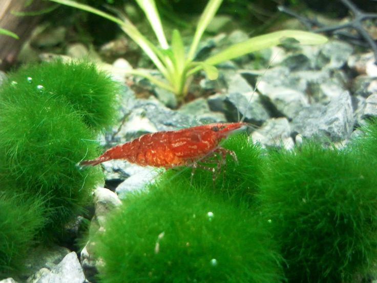 Bienvenido a acuario acuaworld: Marimo o Bola de musgo