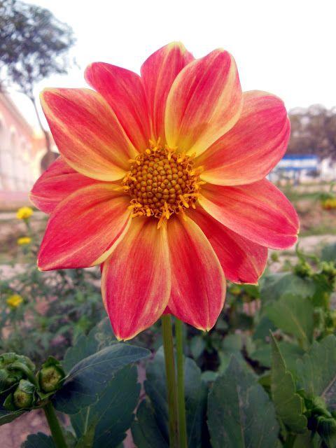 Beautiful Flower - Dahlia