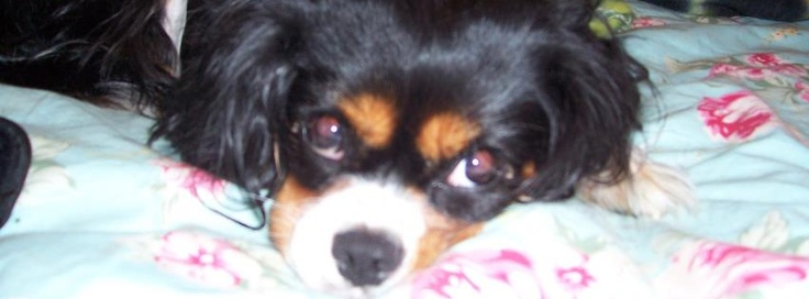 """""""My Jasmine Rose"""" story about a Cavalier King Charles Spaniel"""