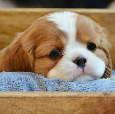 Cavalier King Charles Spaniel Facts Love Pet Spaniel Puppies
