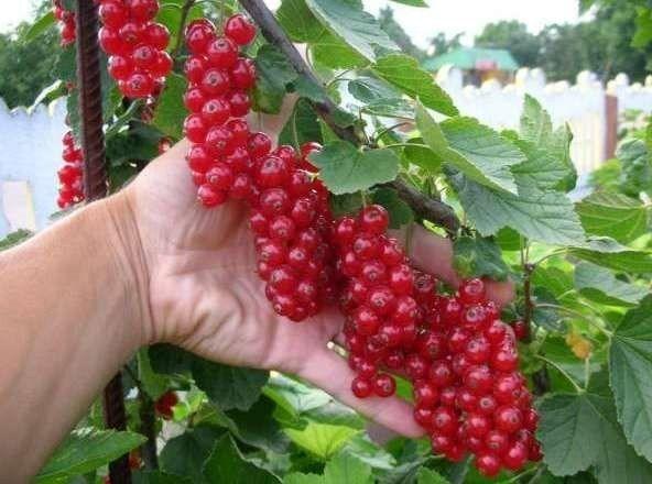 В десять раз больше урожай малины и смородины!