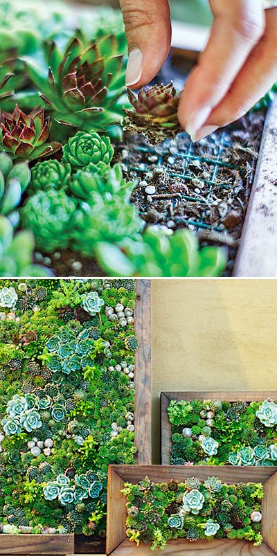 Sedum and Succulent Planters • Tips, Ideas and Tutorials! Including, from 'sunset mag', they show us how to make our own living art from succulents.