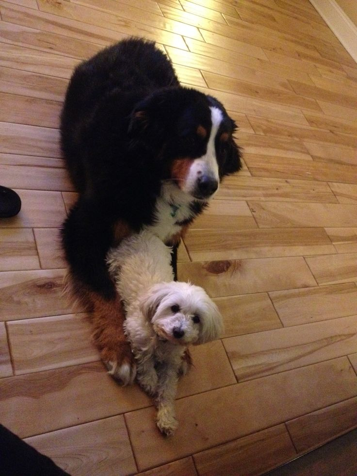 They are just too cute ! #bernese #multipoo