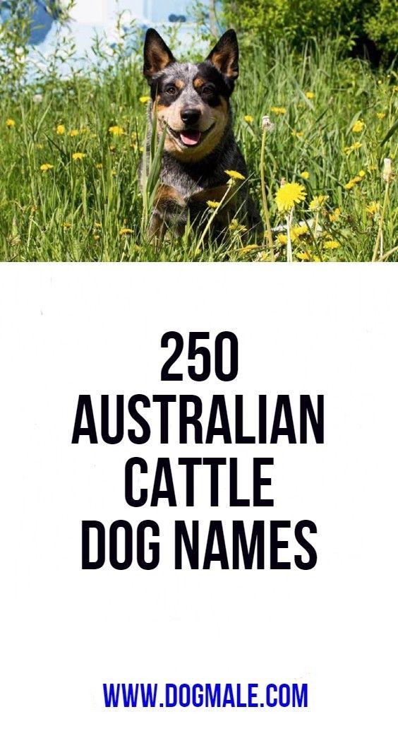 250 Australian Cattle Dog Names Dog Names Cattle Dog