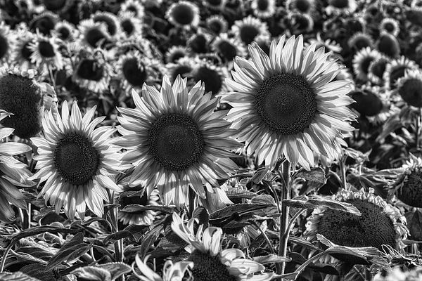 The Black and white version of Sunflowers allow for all the details of structure and light to stand out.  Image by #Markkiver - Find more images for sale at http://1-mark-kiver.artistwebsites.com/index.html or http://mkiverphotography.zenfolio.com/  #Sunflowers #BlackandWhite #B&W #Fineart #Photography