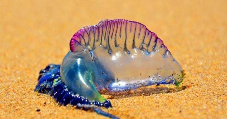Αν φέτος το καλοκαίρι δείτε στην παραλία αυτό το μοβ πράγμα...τρέξτε! (βίντεο)