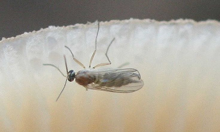Destroy Fungus Gnats Forever With These Tips in 2020 ...