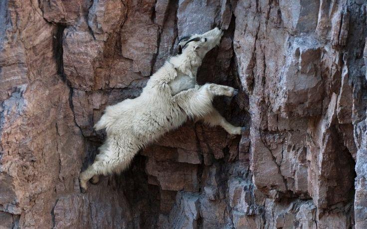 Cabra desce uma parede de rocha em busca de sal, no parque nacional Glacier, nos Estados Unidos. Cabras da montanha aparecem em precipícios do Alasca às montanhas rochosas, mostrando habilidades de escalada que deixam outros animais, incluindo humanos, muito atrás. Seus cascos tem fendas que formam dois dedos, facilitando o equilíbrio