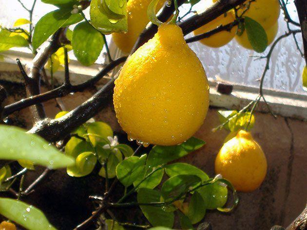 Выращивания лимона на подоконнике