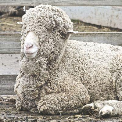 Де живуть дикі вівці мериноси? ніде! Меринос - це порода овець, відомих своєю чудовою шерстю, яка крім усього дуже швидко відростає. Меринос повинен бути пострижений принаймні один раз на рік - в іншому випадку тварина так обросте шерстю, що це повністю закриє йому очі і крім того призведе до перегріву організму. Меринос не в змозі самостійно вижити в дикій природі.