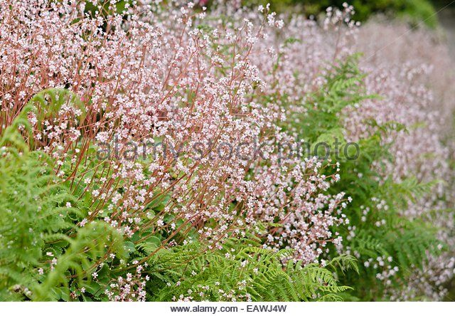 Image result for SAXIFRAGA LONDON PRIDE PLANTED WITH..
