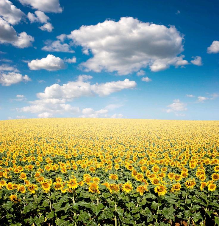 Zomerse zonnebloemen