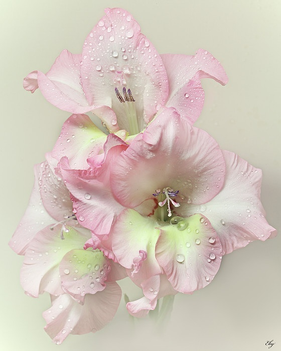 ~~ Gladiola Flower With Raindrops ~~