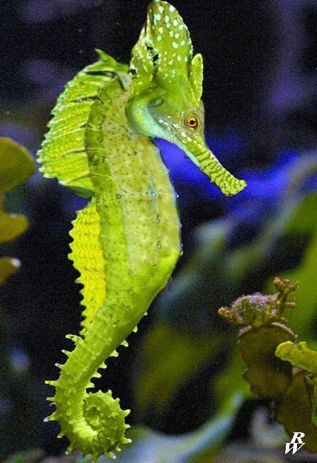Leafy Seahorse Pictures Seahorse Yellow Seahorse