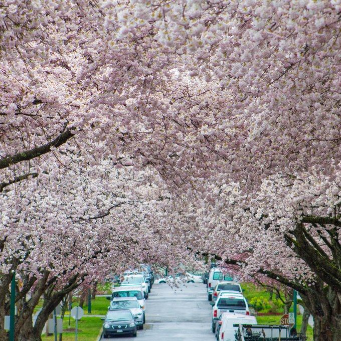 7 Destinations To See Cherry Blossoms Bloom Beyond Japan Cherry Blossom Blossom World