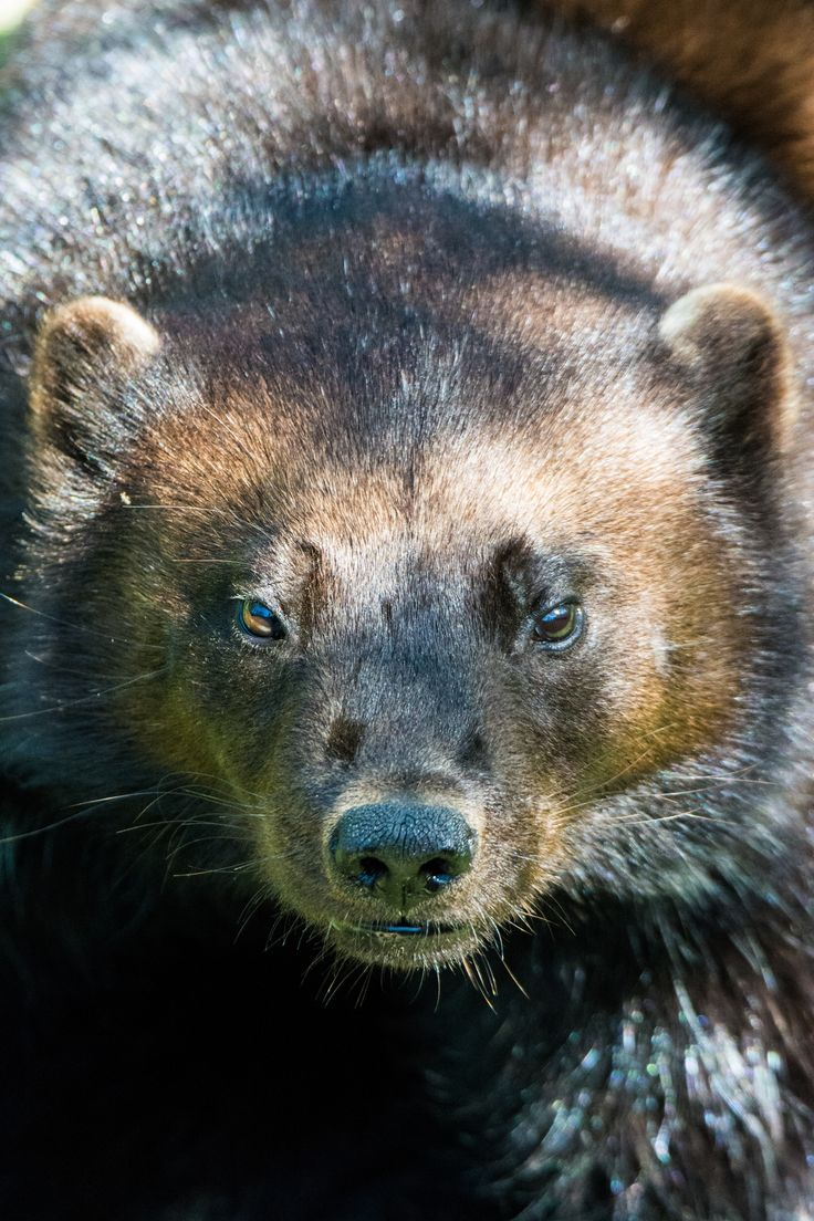 Wolverine (Gulo gulo). Quebec, Canada. Photo by Sébastien Clermont-Petit (at https://www.flickr.com/photos/seb-artz/18641938180/).