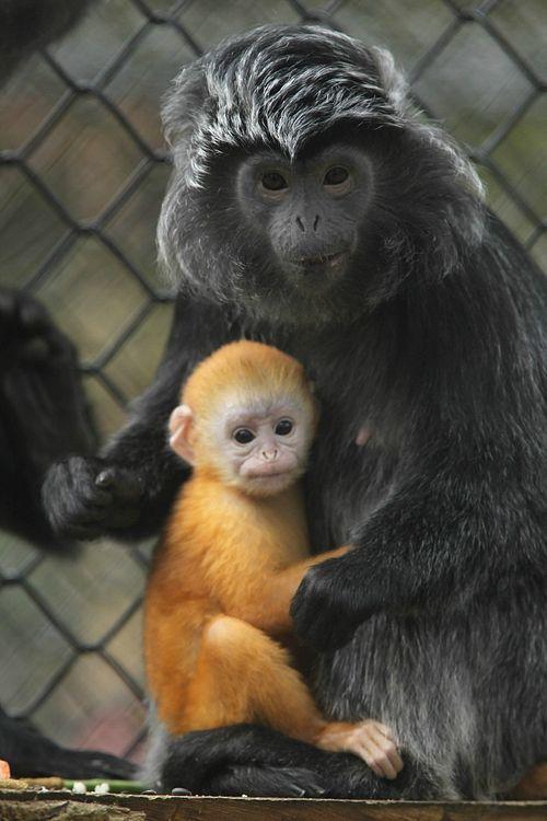 Una cría de lutung de Java de color albaricoque  Se ha producido recientemente un nacimiento de lutung de Java en el Parque de la Vida Salvaje de Howletts (Gran Bretaña).  La cría de lutung que se ve en estas imágenes con sus padres ha sido bautizado como Malang.