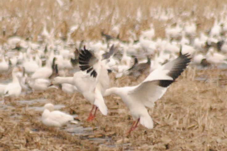 If you're game for some of the finest snow goose hunting in the Midwest Visit http://www.showmesnowgeese.com/snow-goose-hunts/