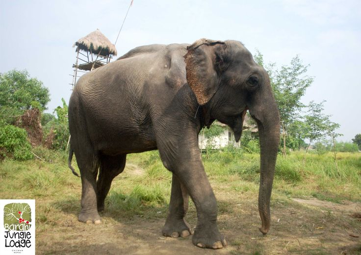 Nature and Animals inspire all including our team members. A lovely poem written by Vineeta Yadav at Barahi Jungle Lodge, #Chitwan in praise of her favorite elephant : http://goo.gl/8nMdcO