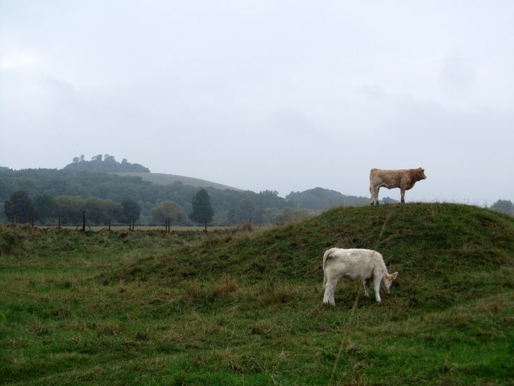 Cows exploring Dyke Hills in front of Wittenham Clumps