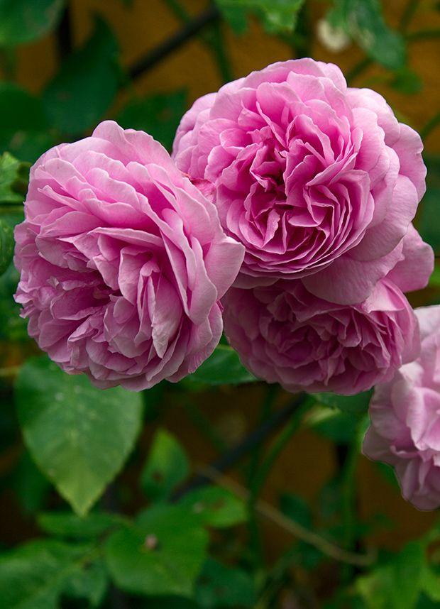 Sådan får du succes med roser | ISABELLAS
