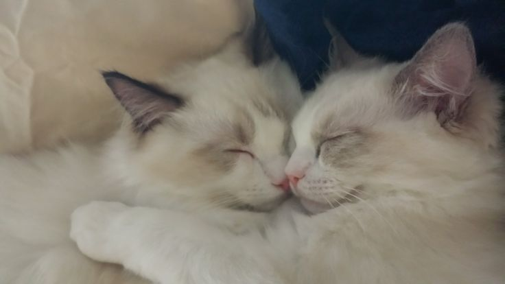 Dusty and Dolly – Ragdolls of the Week http://www.floppycats.com/dusty-and-dolly-ragdolls-of-the-week.html