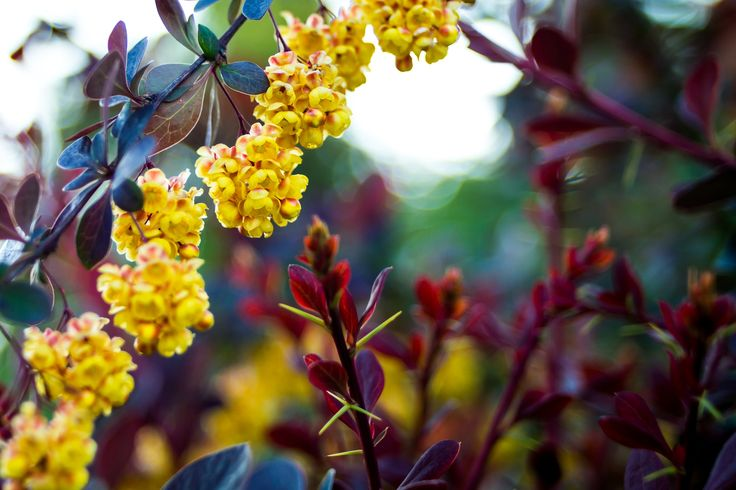 Nature's Palette - Barberry flowers among a good variety of colored leaves.