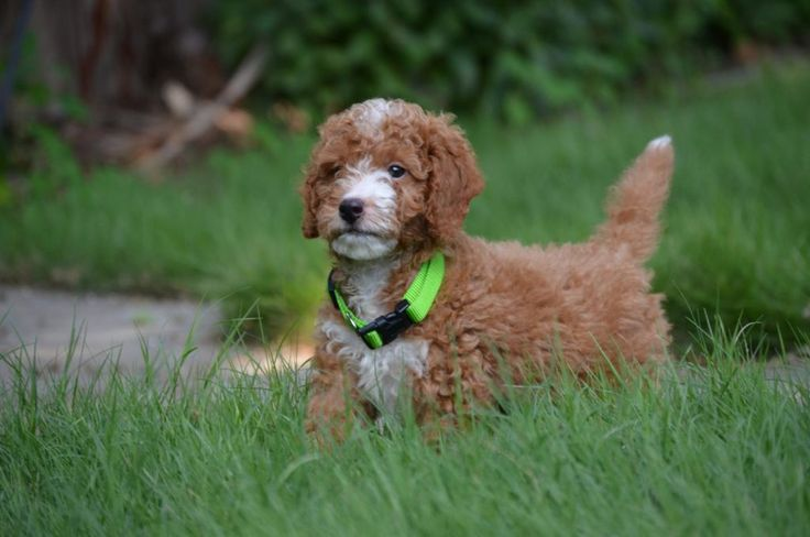 Red Mini GoldenDoodle puppies #goldendoodles #goldenpuppies #puppies #golden #poodles #doodles #bestgoldendoodles