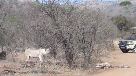 Mother giraffe tries to save her calf from lions #news #alternativenews