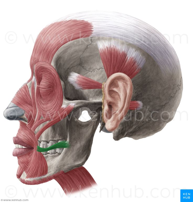 All About Orbicularis Oris Muscle Innerbody Kidskunstfo