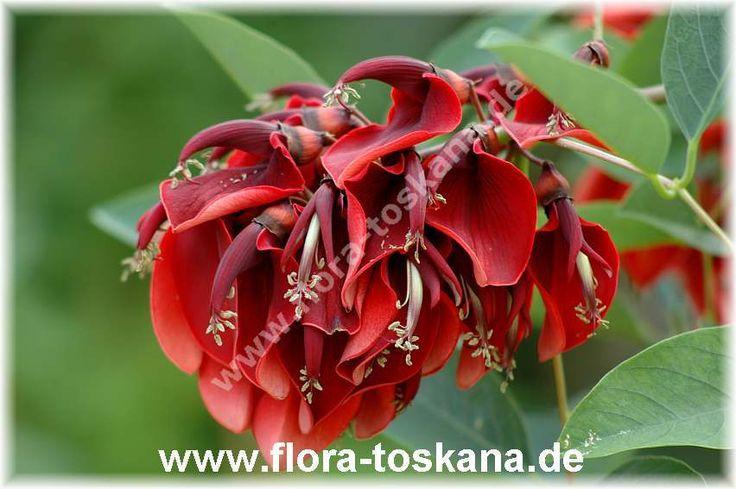 Erythrina crista-galli - Korallenstrauch