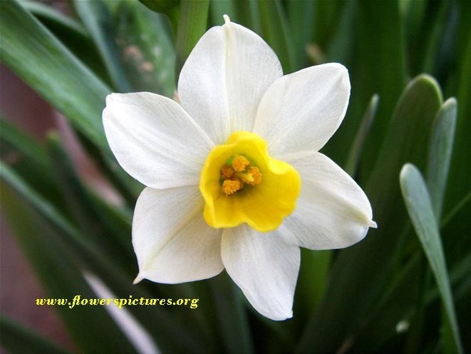 Image Gallery Narcissus Flower