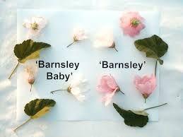 """Lavatère Barnsley Baby"""