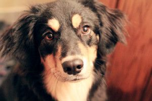 Learn about the German Shepherd Border Collie Mix - Dogable.net