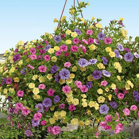 Petunien - Trio-Rosen-Hängepetunien (Calibrachoa-Hybride Calita(R) Double Blue, Rose und Yellow) von Gärtner Pötschke
