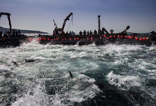 La fiesta del atún rojo - Fuera de Serie