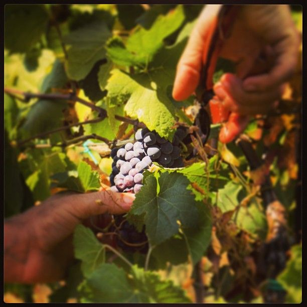 "@Ronco Calino Franciacorta's photo: ""Continua la #vendemmia 2013. Oggi abbiamo raccolto il Pinot Nero. #franciacorta #vino #wine #italianwine #harvest #pinotnoir #nature #italy #italia #hardwork #lovewine #winelovers #instapic #instawow #instacool #instagood #like #love #instawine #instaitalia #tagstagram #tag #picoftheday #photooftheday #tagsta #sparklingwine #love #like"""