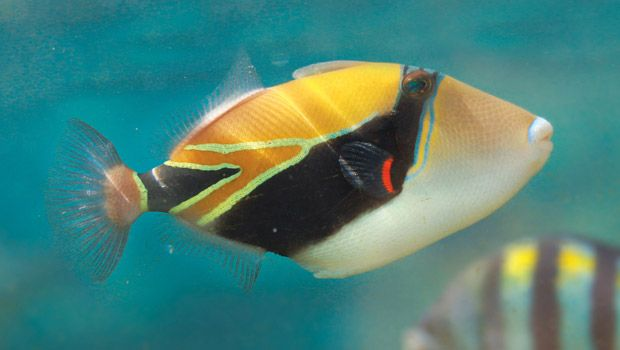 Reef triggerfish aka humuhumu nukunuku pua a the state for Hawaiian state fish