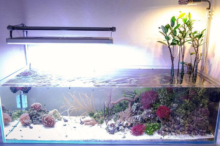 brad908    Congratulations to community member brad908 and his 40 gallon  reef aquarium for being selected for our November Reef Profile!  This all natural nano reef aquarium recreates a shallow coastal mangrove and macro algae biotope, compl...