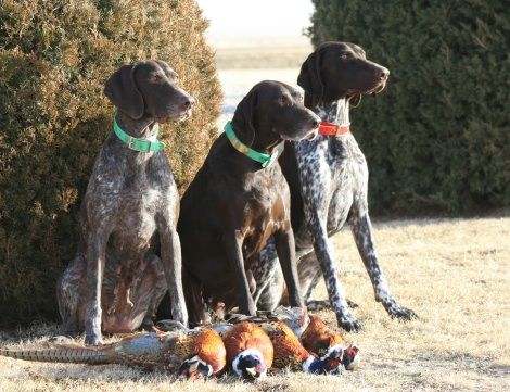 German Shorthairs have a special place in my heart...: Animal Dogs Gsp, Animal Photography, Doggies Families, Birds Dogs, Big Boys, Art Ink Dogs, Talk Pet, Animal Pet, Beautiful Dogs