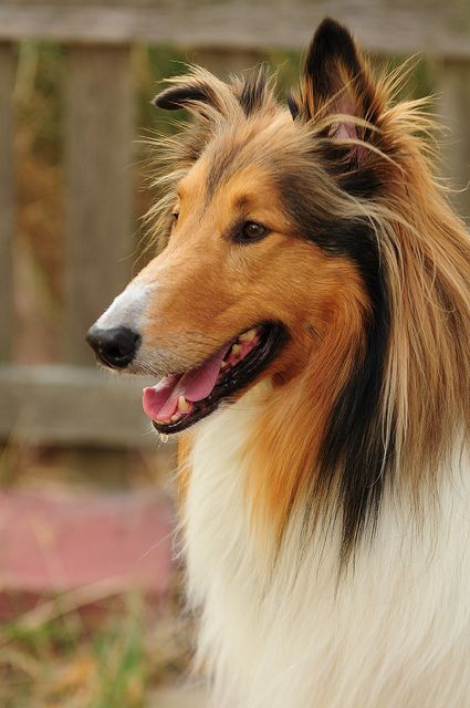 Rough Collie photo | Recent Photos The Commons Getty Collection Galleries World Map App ... so cute (:
