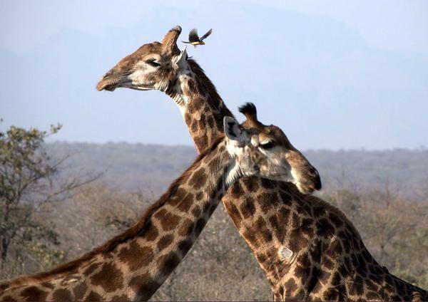Luxury Botswana Safaris Offer Unrivalled Wildlife Viewing - http://www.365.travel/luxury-botswana-safaris-offer-unrivalled-wildlife-viewing/ #travel #Botswana, #Safari