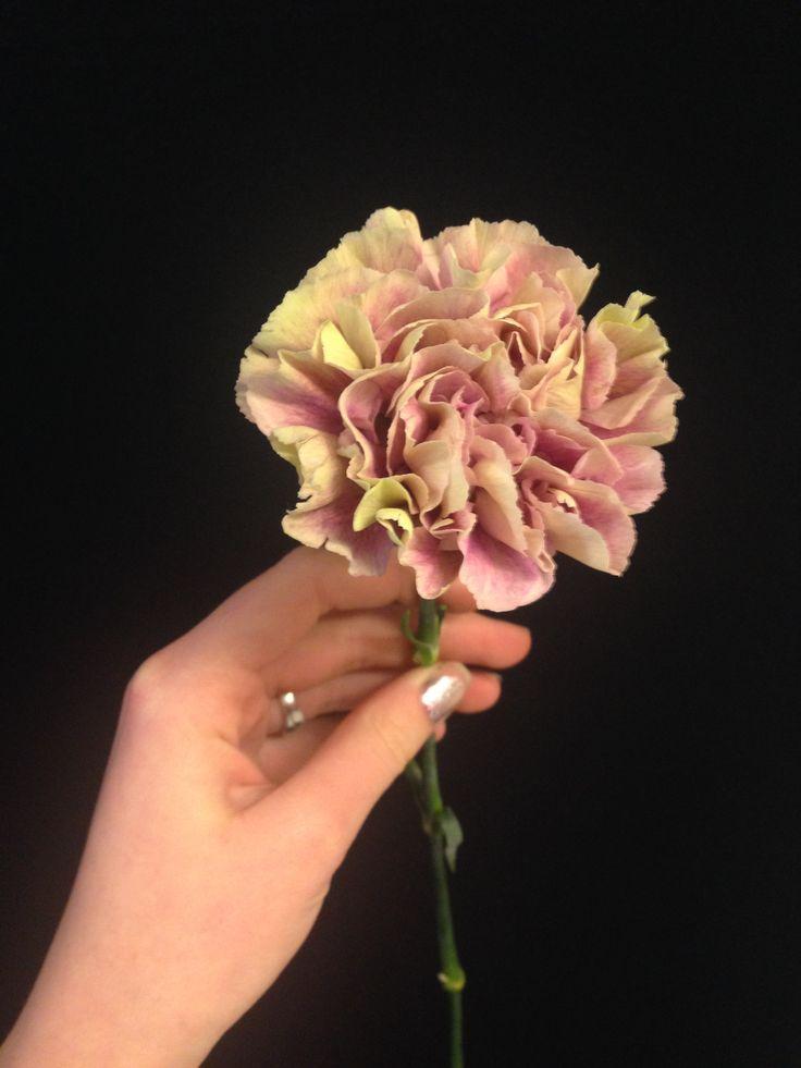 Hvit/lilla Nellik - Dianthus antigua