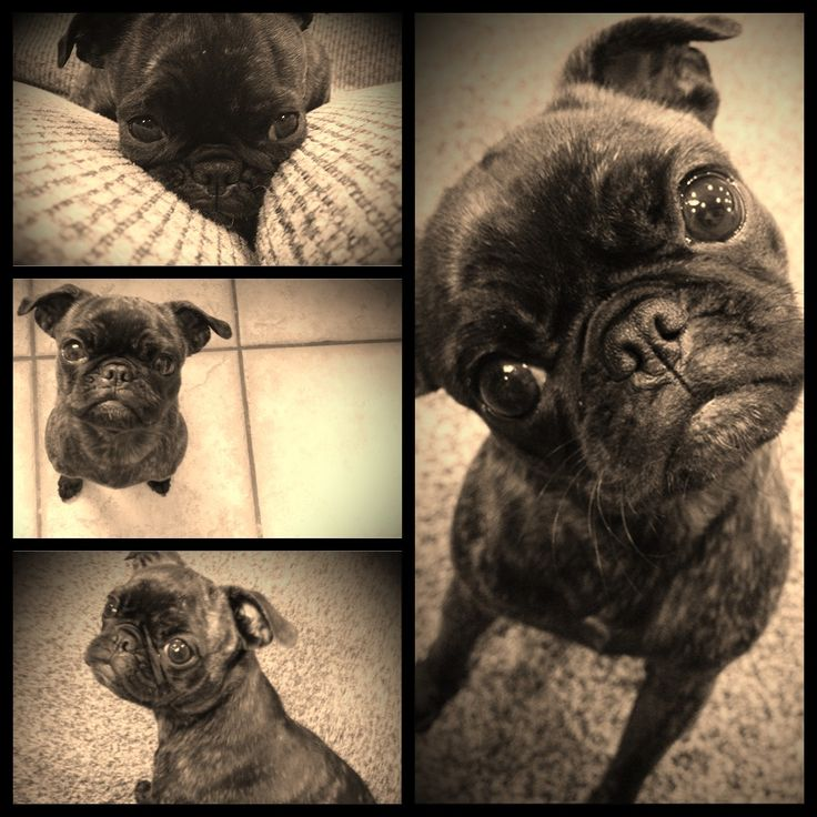 My Bugg puppy. Boston Terrier/Pug mix. I love her!
