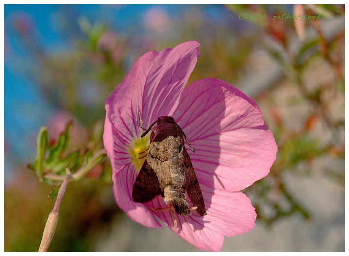 Chwile Zachwycone O Fruczakach Golabkach I Wiesiolku Powabnym Plants Insects Animals
