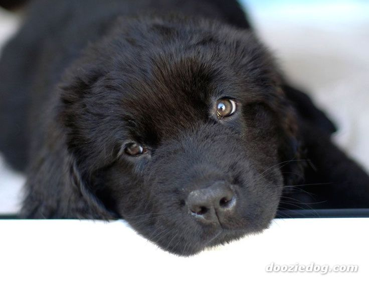 Newfoundland puppy peeing