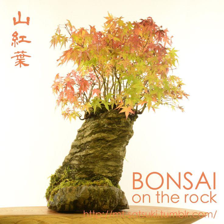 ヤマモミジの石付盆栽Japanese maple, Yama-momiji, bonsai on a rock2015.10.24 撮影bonsai on the rock @BASEbonsai on the rock @Zazzle