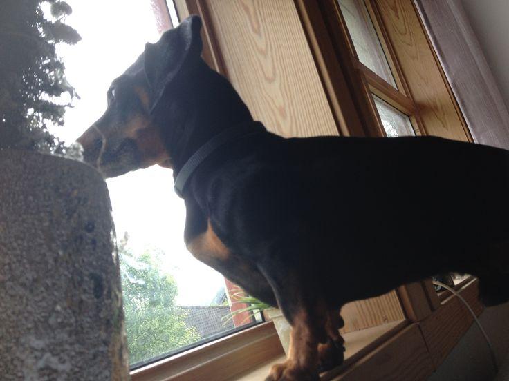 Jeg har vist en vakt hund